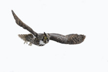 Great Horned Owl In Flight Iso...
