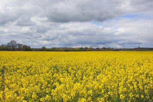 Fotobehang Honing field of yellow flowering rapeseed