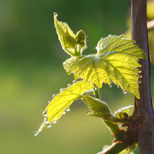 Flowering Of The Grape In The ...