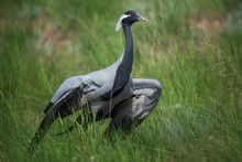Demoiselle Crane / Anthropoide...