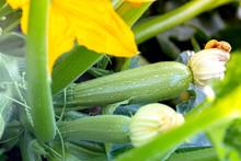 Zucchini Grows In The Garden
