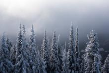 Snow Covered Trees - Revelstok...