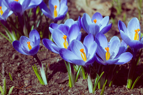 Foto op Canvas Krokussen Instagram-style violet crocuses in spring