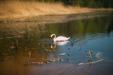 Alone White Swan In The Dirty ...