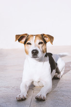 Charming Dog Jack Russell Lies On The Balcony Enjoying The Sun, Looking At Camera