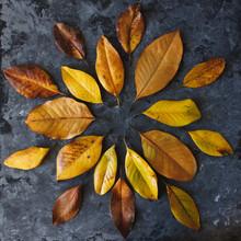 Yellow Magnolia Leaves In Mandala Shape Flat Lay On Dark Background