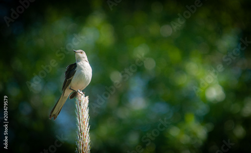Fotomural Northern Mockingbird (Mimus polyglottos) Perched on Long Leaf Pine