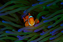 A Colorful Orange Clownfish Finds Safety Among It's Host Green And Purple Anemone In Raja Ampat, Indonesia