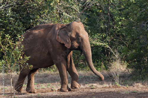 Sen Monorom Cambodia, Asiatic elephant emerging from forest Tapéta, Fotótapéta