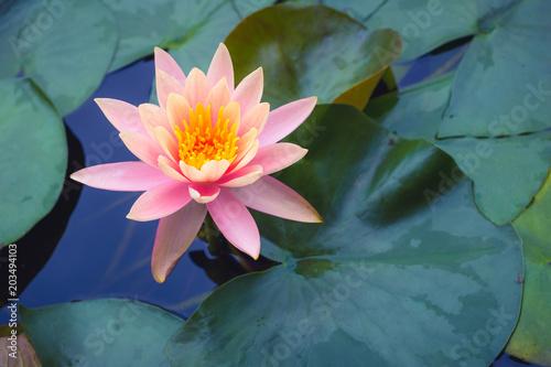 Foto op Canvas Lotusbloem pink Lotus flower and Lotus flower plants in a pond