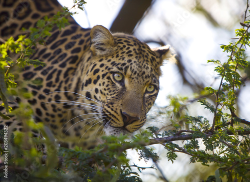 Deurstickers Luipaard leopard on the tree