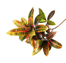 Codiaeum Variegatum (garden Croton Or Variegated Croton) Foliage, Close Up Of Croton Leaves Isolated On White Background With Clipping Path