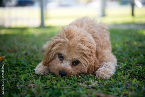 Foto  カブードルの子犬