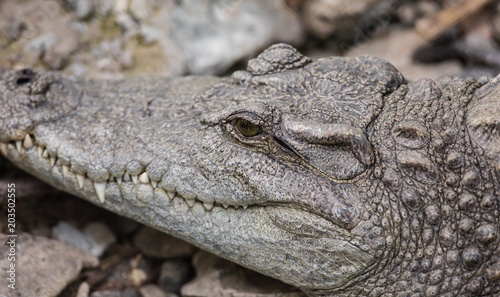 Tuinposter Krokodil crocodile close-up at the zoo