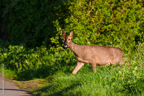 Staande foto Hert Roe Deer (Capreolus capreolus) walking through summer farmland field