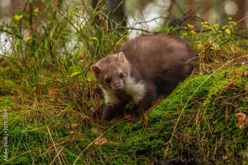 Fotografija  Pine marten rare species in natural habitat (Martes martes)