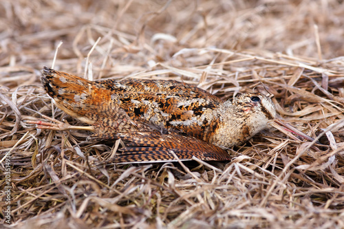 Fotografia, Obraz  hunting trophy - woodcock