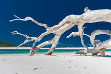 White Driftwood Tree On Amazing Whitehaven Beach With White Sand In The Whitsunday Islands, Queensland, Australia