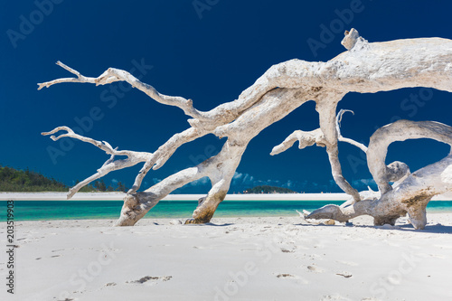 Foto op Canvas Tropical strand White driftwood tree on amazing Whitehaven Beach with white sand in the Whitsunday Islands, Queensland, Australia