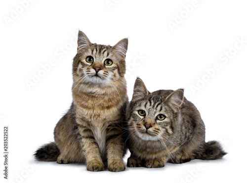 Duo of two Pixie Bob cat kittens sitting straight up and