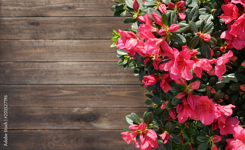 Foto op Canvas Bloemen Floral background for gardening. Beautiful magenta azaleas flowers on a brown wooden background with copy space, top view. Wooden template with border of a flowering azaleas.