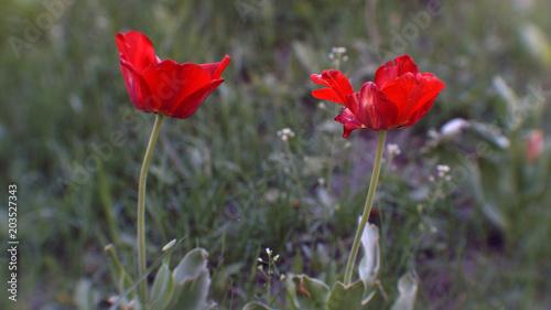 Plakat jasny czerwony tulipan zbliżenie