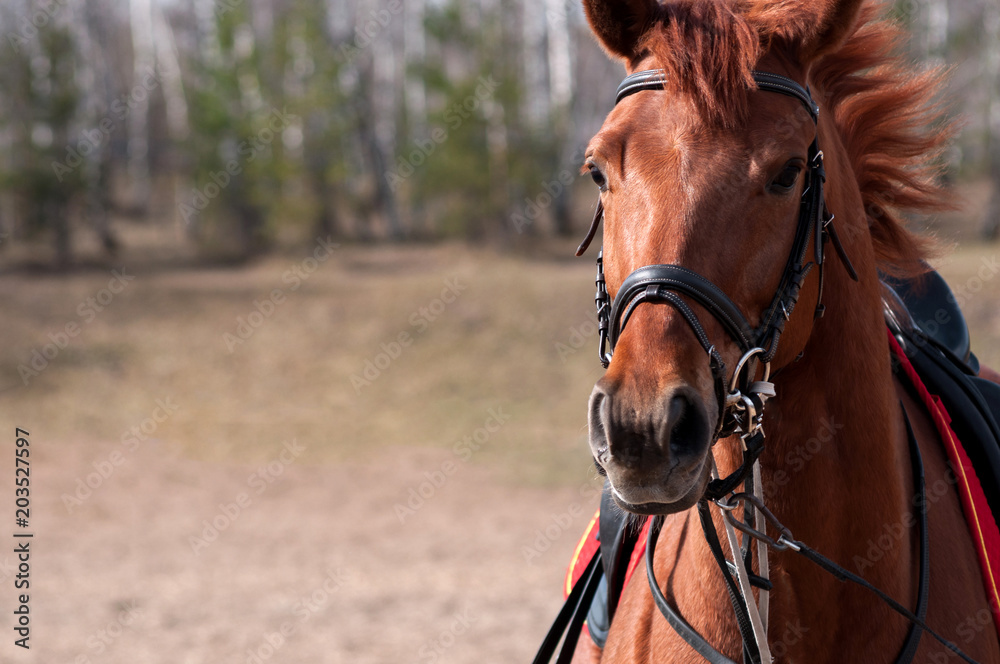 Fototapeta Horse's face