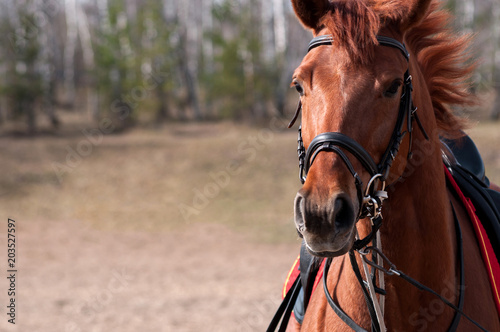 Canvas Print Horse's face