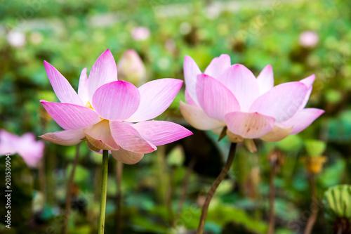 Foto op Canvas Lotusbloem beautiful blooming pink lotus in the pond