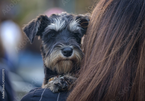 Photo  Funny terrier dog sits at the woman's hands 1