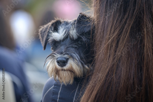 Photo  Funny terrier dog sits at the woman's hands 4