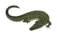 Green Crocodile, American Alli...