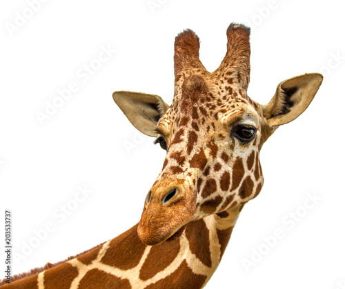 head of a giraffe on a white background