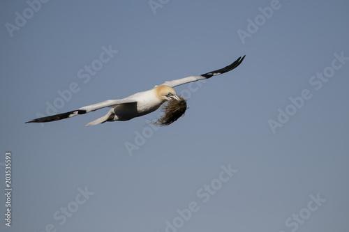 Gannet (Morus bassanus) with nesting material Scotland