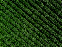 Green Country Field Of Potato ...