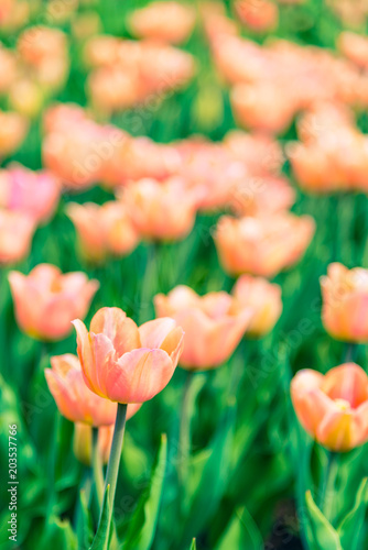 Field with pink-orange tulips - selective focus