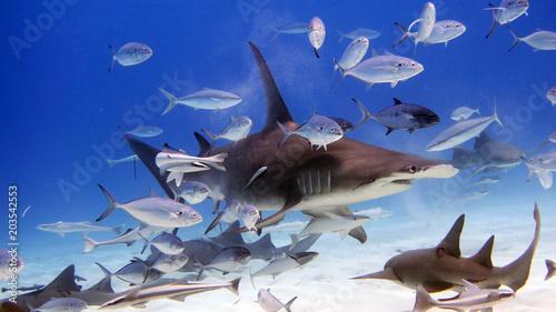 Fotografia, Obraz Portrait of a shark swimming in the ocean