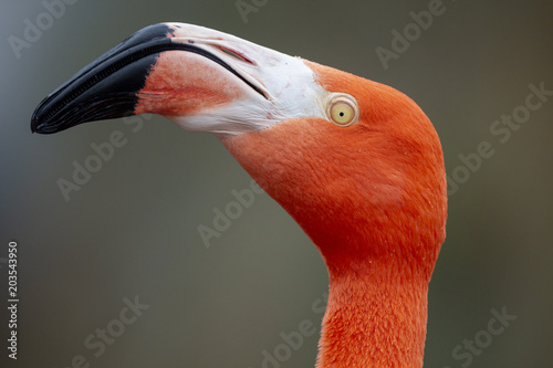 Tuinposter Flamingo Red Caribbean flamingo close-up head detail