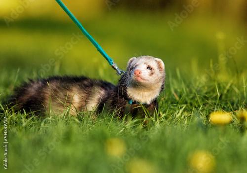 Fotografering ferret in the grass