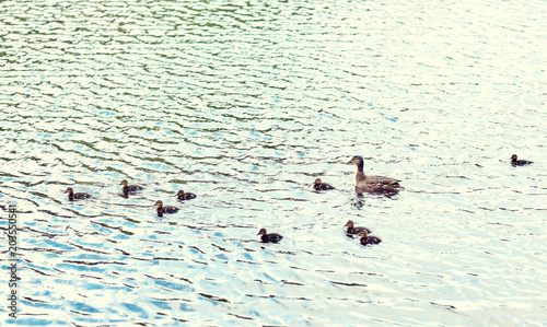 Fotografie, Obraz  birds, ornithology, wildlife and nature concept - duck with ducklings swimming i