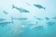 Sea fish background underwater natural view relaxing scenery group cod fish Atlantic ocean marine life ecology concept