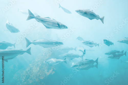 Fotografija Sea fish background underwater natural view relaxing scenery group cod fish Atla