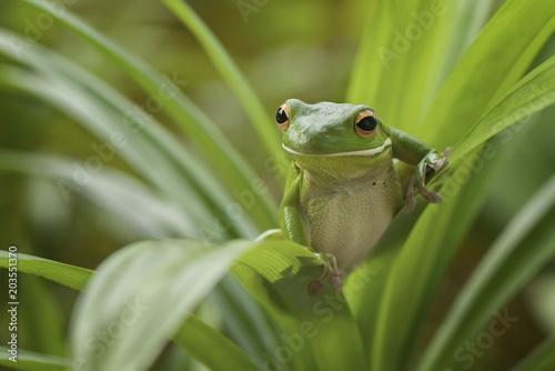 Tuinposter Kikker Green Frog Whitelips