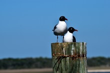 Laughing Gull In The Wild Rest...