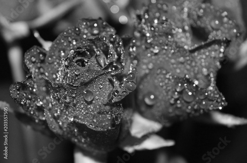 Türaufkleber Makrofotografie Rosen in schwarz weiß