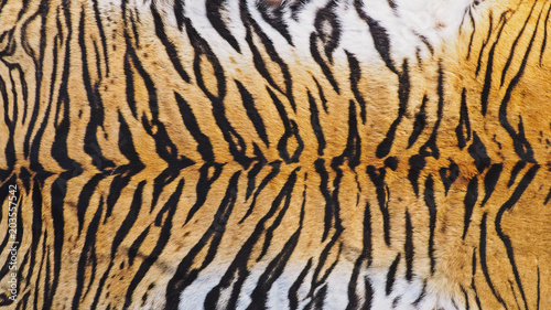 In de dag Tijger Close-Up Shot of Real Indo-Chinese Tiger (Panthera Tigris Corbetti) Skin / Pelt.