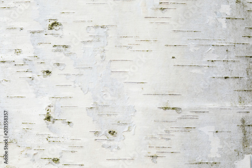 Photo The birch bark texture or background