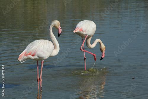 Papiers peints Flamingo Flamant rose Phoenicopterus roseus en camargue en france