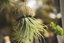 Epiphyte (Tillandsia) Air Plant Growing Out Of A Hollowed Out Sea Shell Hanging From A Thread