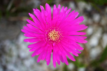 Vygies – Mesembryanthemum